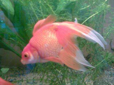 Blog de 106ced page 14 poissons rouges japonais une for Poisson rouge japonais